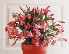 Christmas Cactus - Christina Schmidhofer/The Image Bank/Getty Images