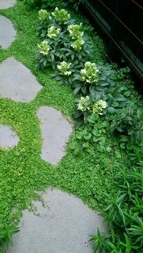 Kidney Weed (Dichondra repens) This evergreen spreading perennial is native to Australia and New Zealand (where it is known as Mercury Bay Weed). Kidney Weed has shiny green heart-shaped leaves and inconspicuous green flowers, and is often used as a substitute lawn in low-traffic areas of the garden. It will grow in full sun or part shade as long as it has plenty of moisture.