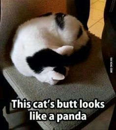 This cat's but looks like a panda. At first I thought it was an actual freaking panda and noticing the cat head at one end was freaky. 26 Funny Pictures That Will Make You Smile Funny Animal Memes, Funny Animal Pictures, Cute Funny Animals, Cat Memes, Funny Cute, Cute Cats, Funny Memes, Jokes, Animal Pics