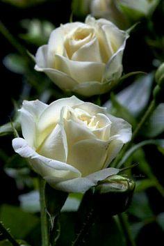 Beautiful White Rose Hd Wallpapers Hd Wallpapers Fit Beautiful