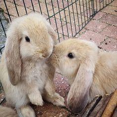 More bunny kisses! #rabbit #rabbits #rabbitlove #rabbitlife #bunny #bunnylove #bunnies #bunnylovers #bunnyrabbit #bunnylife #pet #pets #cute #bunnies