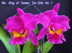 """Blc King of Taiwan 'Da-Shin"""""""