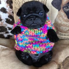Baby Pug in colorful top