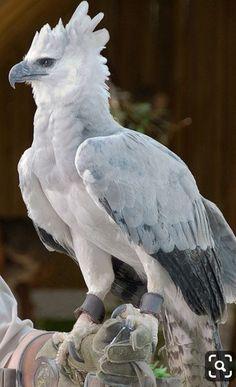 Harpia harpyja/American Harpy Eagle or Harpy Eagle/オウギワシ Pretty Birds, Beautiful Birds, Animals Beautiful, Exotic Birds, Colorful Birds, Yellow Birds, Small Birds, Exotic Pets, Aigle Harpie