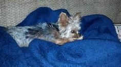 YORKIETIME.COM youtube - AT&T Yahoo Search Results