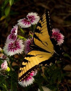 Swallowtail on Dianthus Butterfly Pictures, Butterfly Flowers, Butterfly Wings, Butterfly Mobile, Butterfly Template, Flower Template, Monarch Butterfly, Flying Flowers, Butterflies Flying