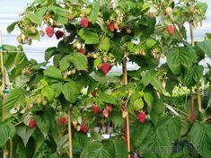 Посаженные осенью саженцы малины дают лучший рост и более урожайны по сравнению с высаженными весной. Однако при посадке следует учитывать множество факторов. Рассказываем, каких именно.Чаще всего сад...