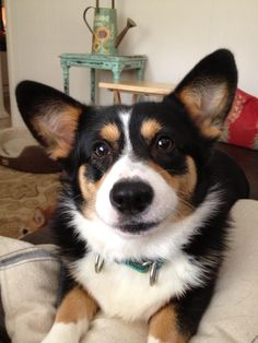 such a great corgi face. Looks like our Maxie. Z