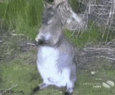 Crow steals from wallaby