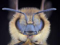 honey bee face photo