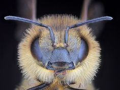 honey bee face photo Scientists discover another cause of bee deaths, and it's really bad news  Jaymi Heimbuch Science / Natural Sciences July 26, 2013