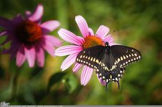 """Picture-A-Day (PAD n.2208) """"Butterfly Lunch"""" ~Amy, DangRabbit Photography Butterfly on flower, Long Island, NY"""