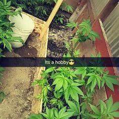 Let the season start #ganja#marijuana#cannibas#hobby#greengro#flowers#operation#life#kush#strains#sesh#stayingbusy#flowerstagram#emeraldtriangle#humboldt#mendocino#thelake#gardens#prop215#420🍁    #Regram via @jorgee_landyy