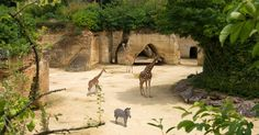 Close to the Loire Valley, the BIOPARC of Doué la Fontaine is a world's unique troglodyte site.  Located in a shelled sedimentary rock ... 19 minutes away