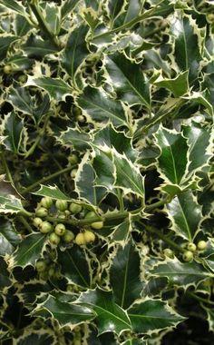 Die immergrüne Stechpalme (Ilex aquifolia) ist eine heimische Waldpflanze. Sie eignet sich für ein bis zwei Meter hohe Hecken und wächst am besten in halbschattigen, etwas geschützen Lagen auf lockeren, humusreichen Böden. Für sehr kalte Regionen ist sie nicht ideal, da insbesondere die buntblättrigen Sorten frostempfindlich sind. Da alle Ilex-Sorten langsam wachsen, sind sie relativ teuer. Dafür kommen sie mit einem Schnitt pro Jahr aus, wie beim Kirschlorbeer am besten mit der…