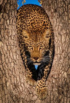 wowtastic-nature:  Leopard in Tree by  Susan Gibbs on 500px.com (Original Size - Height: 900px - Width: 613px)