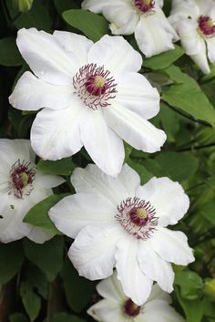 White Clematis Flowers