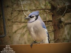 Blue Jay, Two'fer