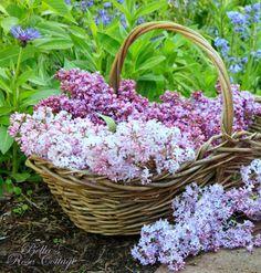 Raindrops and Roses Lavender Cottage, Rose Cottage, Cut Flowers, Beautiful Flowers, Syringa Vulgaris, Raindrops And Roses, Living Room Decor Colors, Purple Garden, Bella Rose