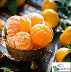 Nagpur World Orange festival – Plant Science by Atrimed Disco Intervertebral, Le Pollen, Happy Pregnancy, Alkaline Diet, Eat Fruit, Fruit Food, Fruit Juice, Food Food, Top 14