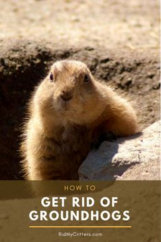 These large rodents may look adorable and have a generally laid-back demeanor, b. - These large rodents may look adorable and have a generally laid-back demeanor, but they'll devour your entire garden before you know it. Here's how to get rid of them… - Groundhog Repellant, Get Rid Of Groundhogs, Hog Trap, Large Rodents, Garden Animals, Garden Guide, Garden Ideas, Garden Pests, Garden Care