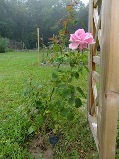 Greffe du rosier du jardin d 39 enfance de sainte th r se de - La boutique du jardin ...