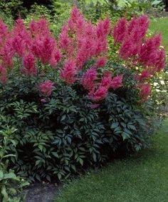 Amethyst Astilbe: This gorgeous perennial boasts lovely feather flowers that perform well in both sun and shade. A trouble-free and low-maintenance plant that thrives in a variety of soil types. -Partial sun, partial shade -Plant 1 to 2 feet apart