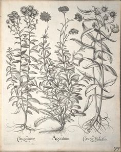 Hortus Eystettensis, sive, Diligens et accurata omnium plantarum, florum, stirpium : - Biodiversity Heritage Library Botanical Drawings, Botanical Art, Botany, Vintage Images, Sketches, Tapestry, Ink, Vintage Illustrations, Daisies
