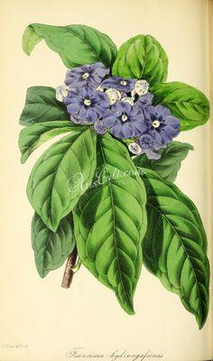 Hydrange-like Franciscea, franciscea hydrangeaeformis      ...