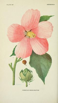 Hibiscus moscheutos. Addisonia : colored illustrations and popular descriptions of plants v. 3 1917. New York :New York Botanical Garden,1916-[1964]. Biodiversitylibrary. Biodivlibrary. BHL. Biodiversity Heritage Library