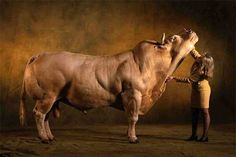 The Belgian Blue, a genetic mutant, also a very popular breed.