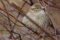 Fluffed - sparrow