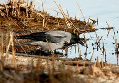 Cornacchia grigia  IMG_42321.jpg - CORNACCHIA GRIGIA - Hooded Crow - Corvus corone cornix - Luogo: Lido di Arona (NO) - Autore: Alvaro