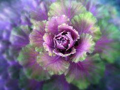Cabbage Flower Poster by Jessica Jenney. All posters are professionally printed, packaged, and shipped within 3 - 4 business days. Cabbage Plant, Cabbage Flowers, Flowering Kale, Ornamental Cabbage, Macro Flower, Thing 1, All Poster, Beautiful Gardens, Beautiful Things
