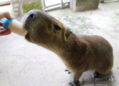 Capybara enjoying popsicle