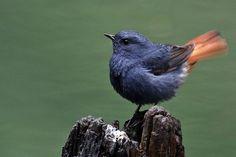カワビタキ Plumbeous water redstart (Phoenicurus fuliginosus, Rhyacornis fuliginosa)