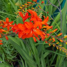 Crocosmia 'Orange Devil' - (Monbretia 'Orange Devil') Family Iridaceae Originating from South Africa  A vigorous variety with strap-shaped mid green leaves and purple arching stems bearing large, vibrant, orange flowers, red at the base, and with a yellow throat. Long-flowering from late summer. Excellent cut flower.