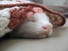A Ferret Nap 2 by AtticusKZ