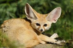 Enormous ears distinguish the fennec fox from other members of its species, and are essential for dispersing heat in the hot environment of the Sahara, the only place they are found in the world