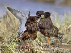 Suokukko, Calidris pugnax - Linnut - LuontoPortti