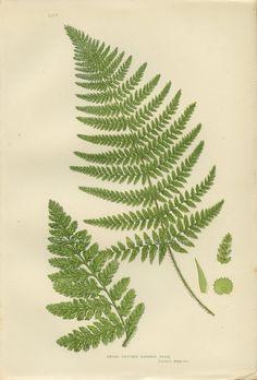 Very Rare Antique Botanical Fern Print (28) Broad Prickly Toothed Fern, Anne Pratt, 1889, Vintage, For Framing