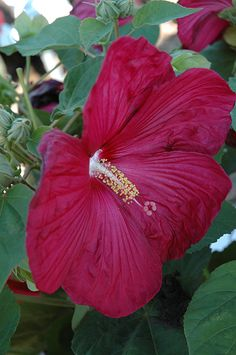hibiscus flowers boston