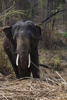 Elephant at the elephant hospital in Trat, Thailand.