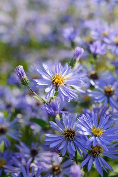 Aster x herveyii , Aster-Macrophyllus Twilight Herbaceous Perennials, Hardy Perennials, Shade Garden, Garden Plants, Meadow Garden, Aster, Days Out, Fresh Flowers, Fun Projects