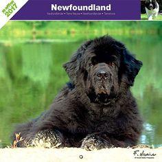Calendrier chien 2017 - Race Terre Neuve - Affixe Edition