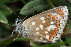 the undergarments of a Northern Brown Argus