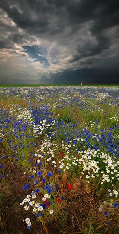 Daisies and Cornflowers by Moro