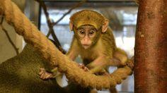 The baby De Brazza monkey Cercopithecus neglectus