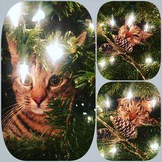 Christmas Cat in the Tree Christmas Cats, Christmas Bulbs, Christmas Vignette, In The Tree, Vignettes, Holiday Decor, Home Decor, Decoration Home, Christmas Light Bulbs