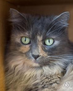 "Meet Ahsoka, a Petfinder adoptable Domestic Medium Hair Cat | Fort Collins, CO | This beautiful cat is looking for her forever home with a true ""cat person."" Although she can be..."